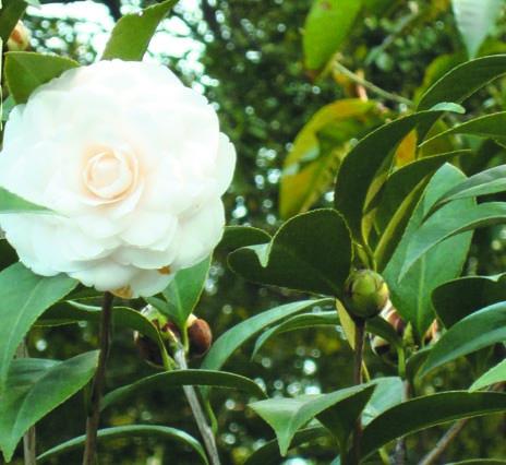 茶树精油oem——免疫杀毒消炎高手